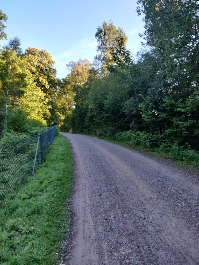 deer crossing over a gravel road.