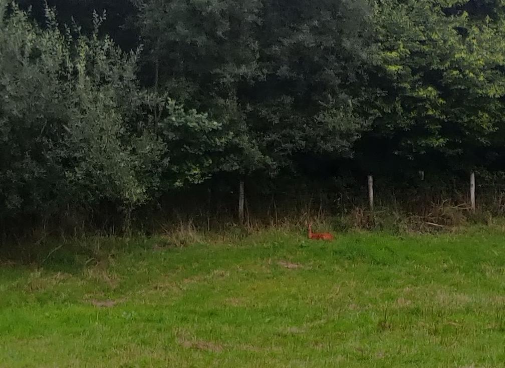 A deer lying down in a lonely meadow.