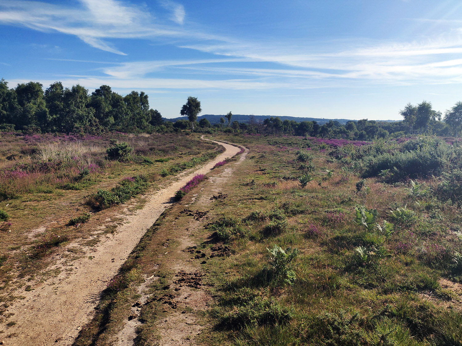 a sandy, heather filled trail on the Serpent Trail