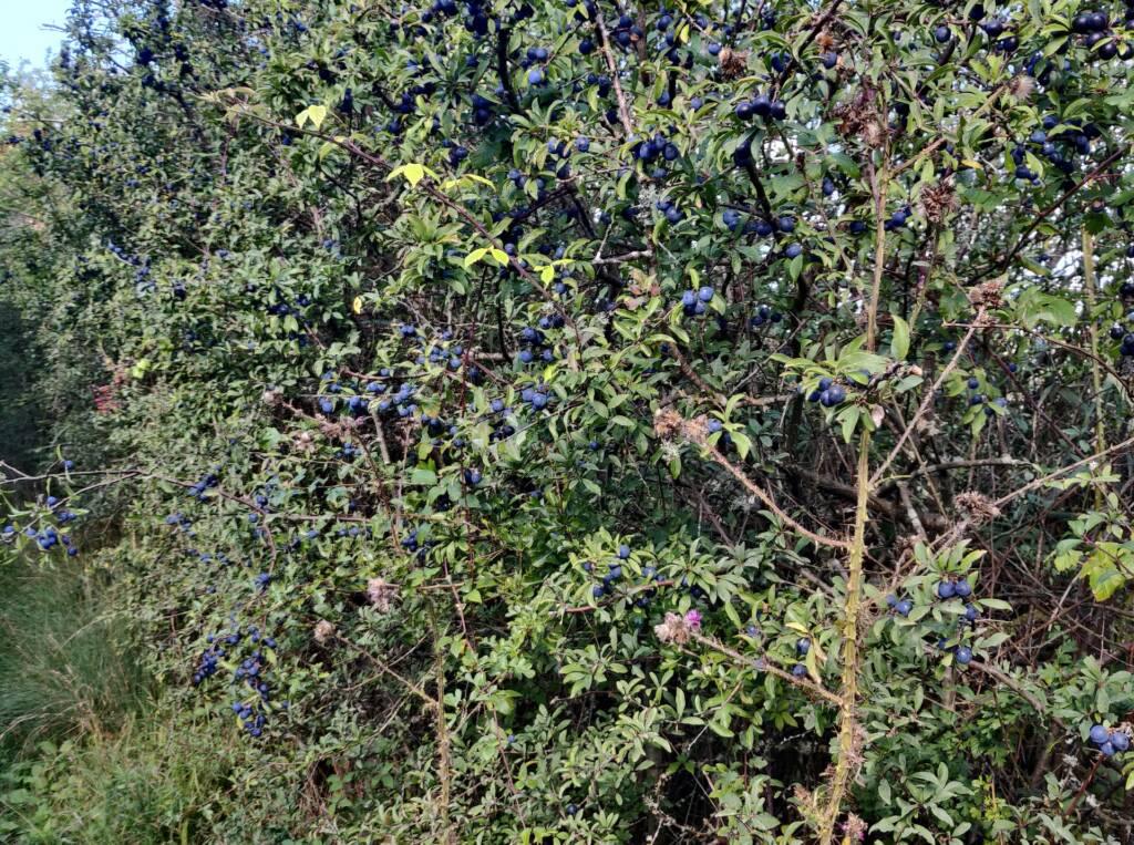 berries growing on bushes