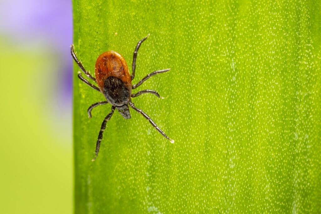 A tick. One of many trail running hazards.